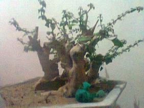 The Fairy Tale Bonsai Style Hgggggmmmllllee_zpsad0aa363