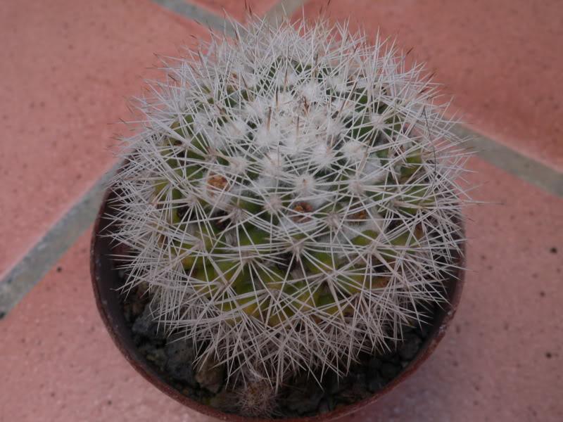Mammillaria evermanniana e Mammillaria baxteriana P1020924