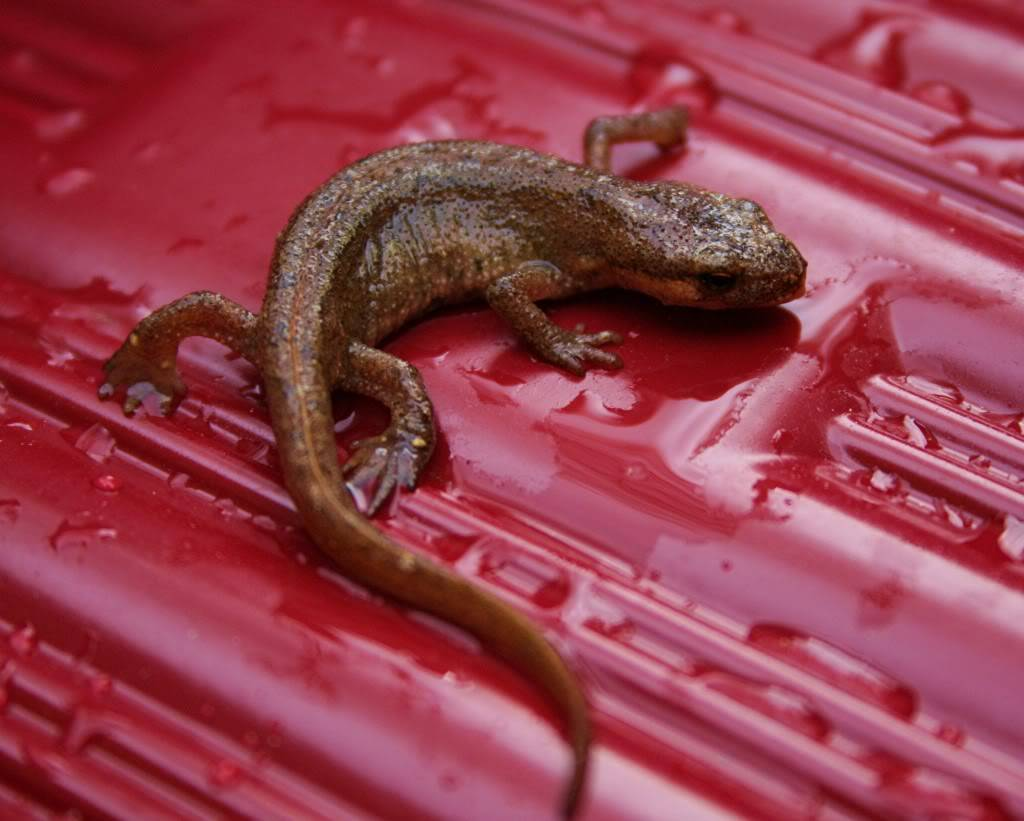 Smooth Newt rescue NEWT004