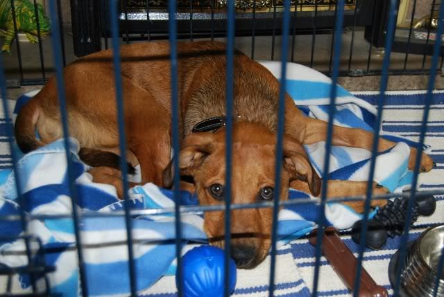 Darwin 4-5 mth old GSD x pup Darwin