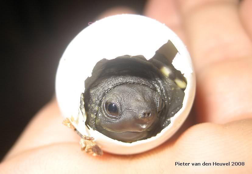 Images de bébés Staurotypus salvinii NK11