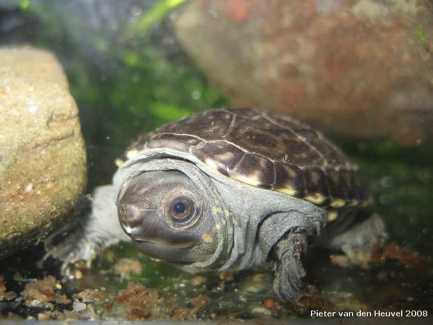 Images de bébés Staurotypus salvinii NK17