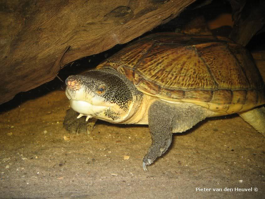 Images de bébés Staurotypus salvinii Vrouwlichtesnuit