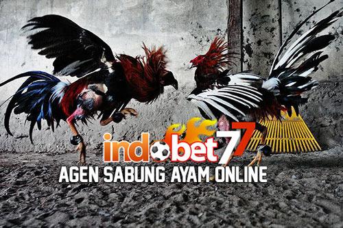 INDOBET77.COM MASTER AGEN BOLA BONUS PALING DAHSYAT Sabung-ayam016_zpsepiamdm3