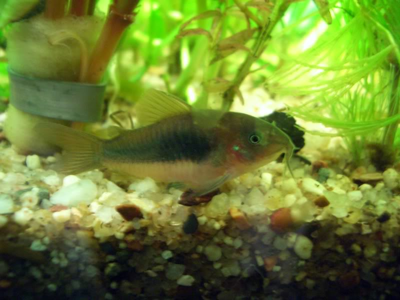 Corydoras (habitats) CIMG1724