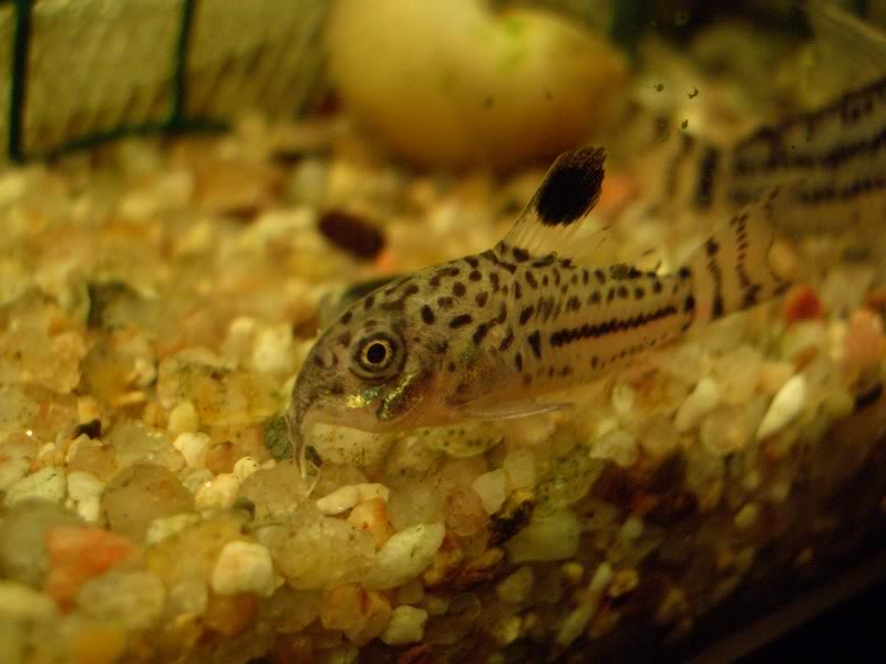 Corydoras (habitats) CIMG2195