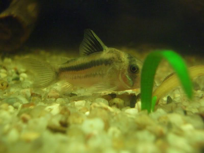 Corydoras (habitats) CIMG3182