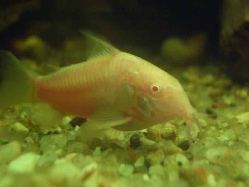 Corydoras (habitats) CIMG3184