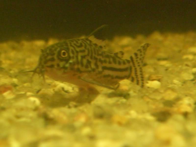 Corydoras (habitats) CIMG3187