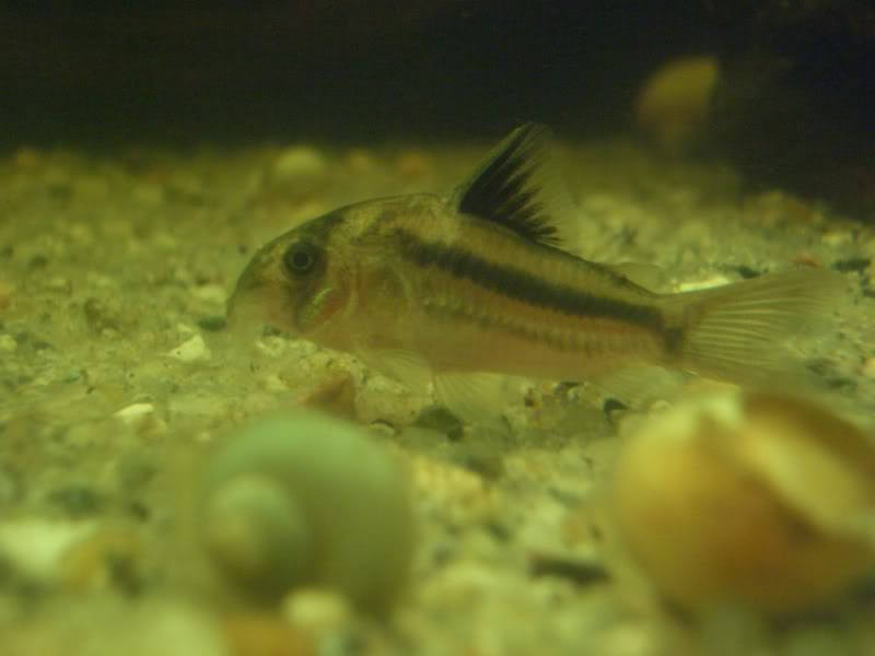 Corydoras (habitats) CIMG3189