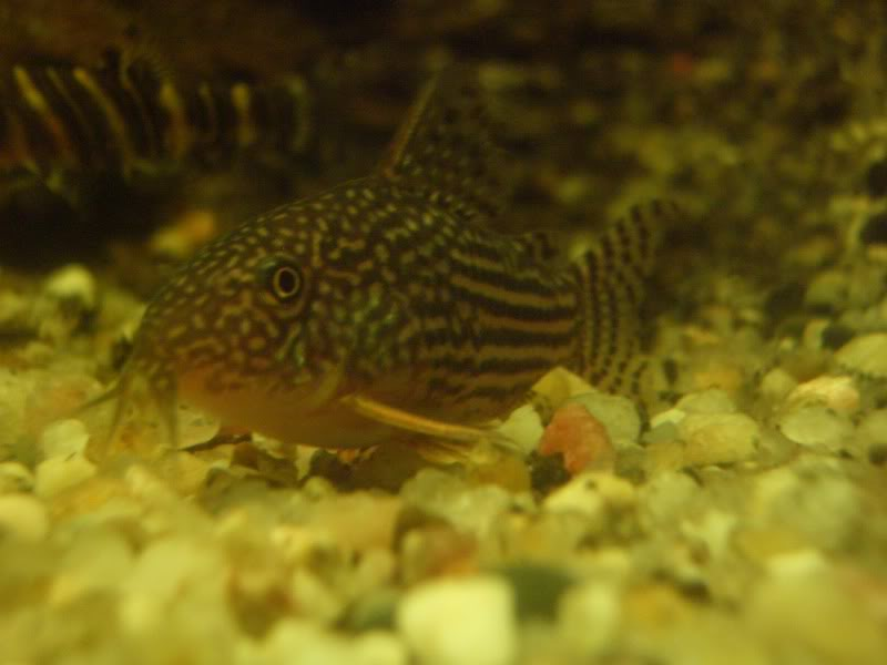 Corydoras (habitats) CIMG3203