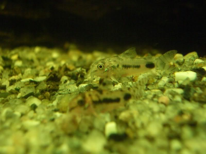 Corydoras (habitats) CIMG3228