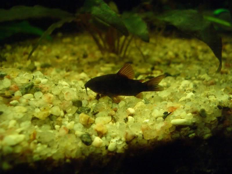 Corydoras (habitats) CIMG3541-1