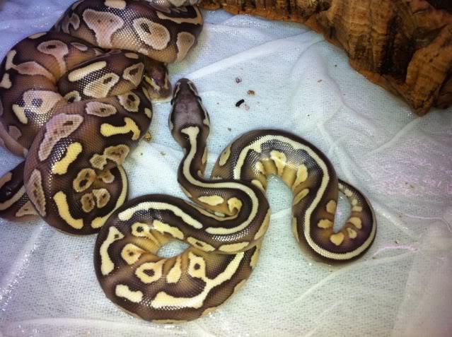 Petits Python regius (phasés) nés chez moi cette année...et ca continue! 5866a0e6