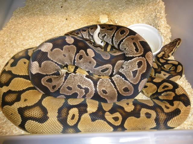 Petits Python regius (phasés) nés chez moi cette année...et ca continue! IMGP6005