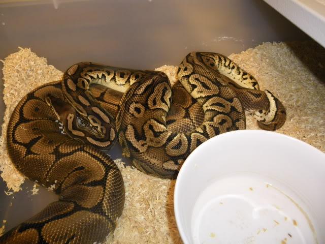 Petits Python regius (phasés) nés chez moi cette année...et ca continue! IMGP6007