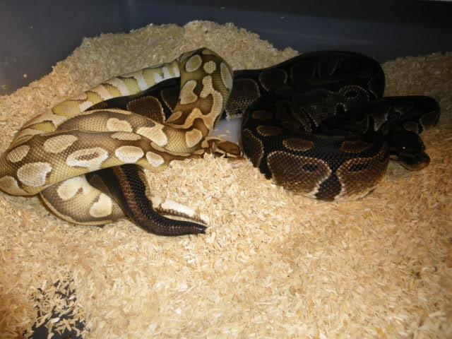 Petits Python regius (phasés) nés chez moi cette année...et ca continue! IMGP6008