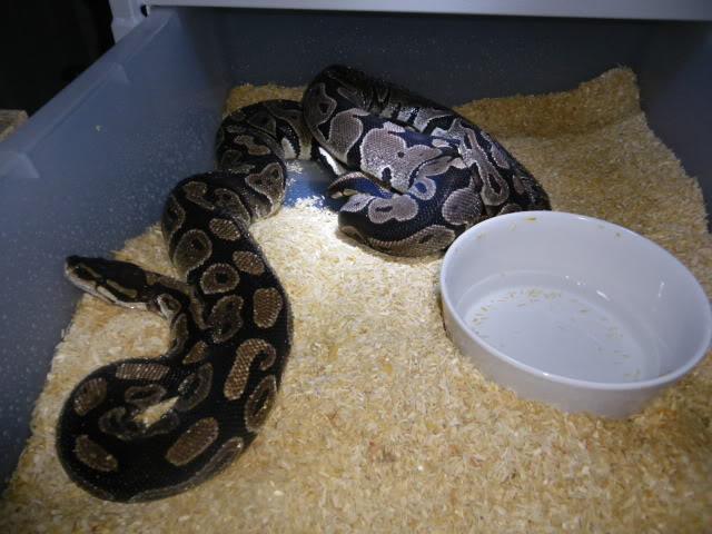 Petits Python regius (phasés) nés chez moi cette année...et ca continue! IMGP6025