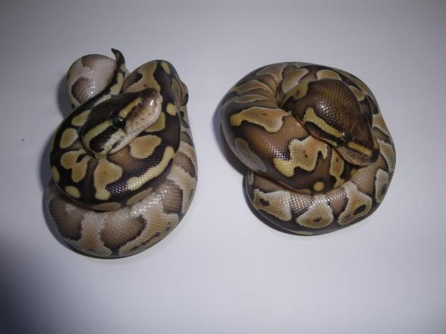 Petits Python regius (phasés) nés chez moi cette année...et ca continue! IMGP7641