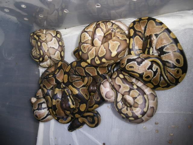 Petits Python regius (phasés) nés chez moi cette année...et ca continue! IMGP7643