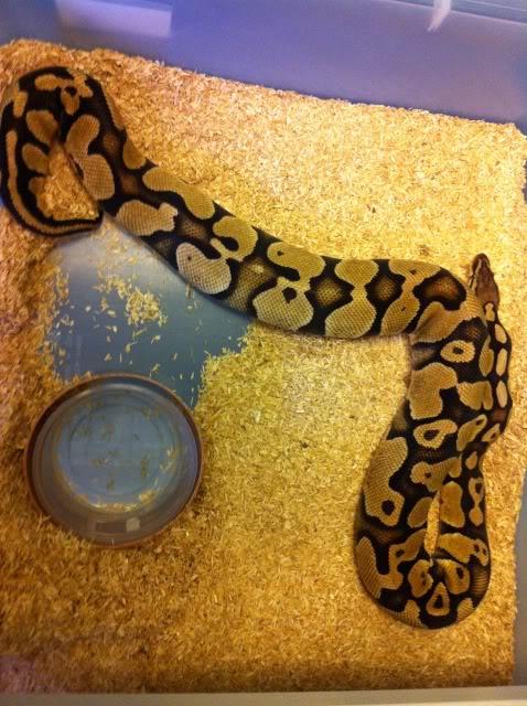 Petits Python regius (phasés) nés chez moi cette année...et ca continue! IMG_0127