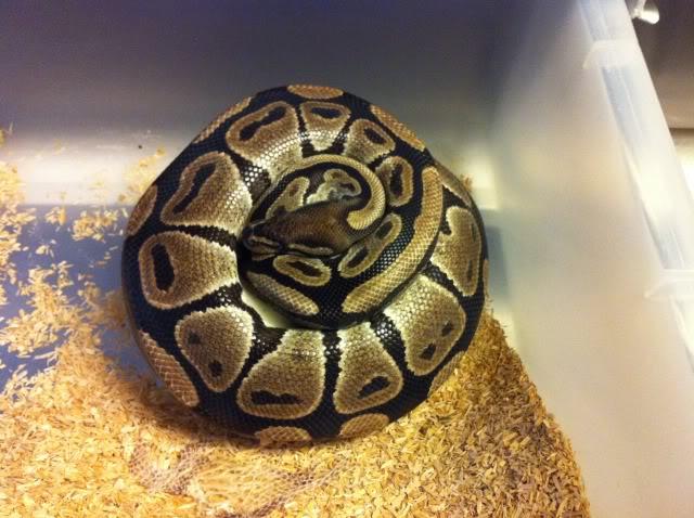 Petits Python regius (phasés) nés chez moi cette année...et ca continue! IMG_0131