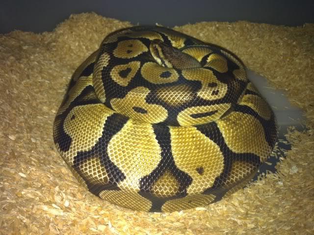 Petits Python regius (phasés) nés chez moi cette année...et ca continue! IMG_0210