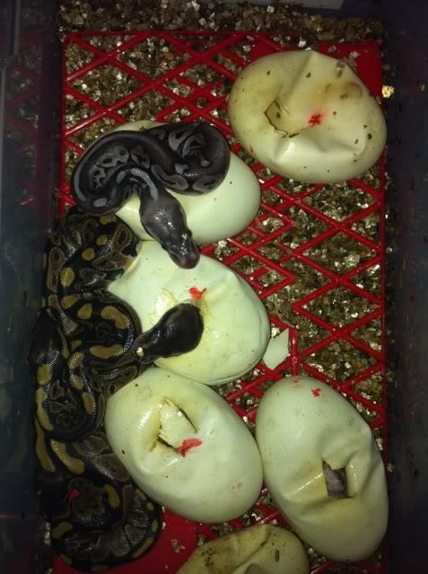 Petits Python regius (phasés) nés chez moi cette année...et ca continue! A7ec5757