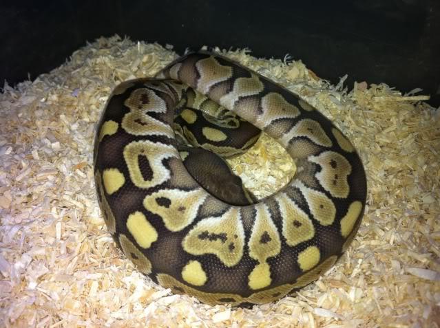 Petits Python regius (phasés) nés chez moi cette année...et ca continue! E5340173