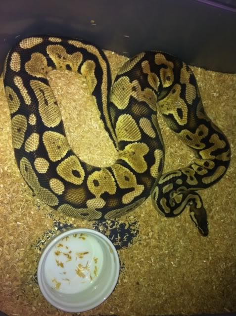 Petits Python regius (phasés) nés chez moi cette année...et ca continue! E8bbafba