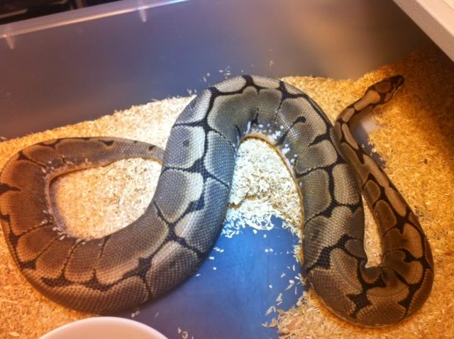 Petits Python regius (phasés) nés chez moi cette année...et ca continue! Photo