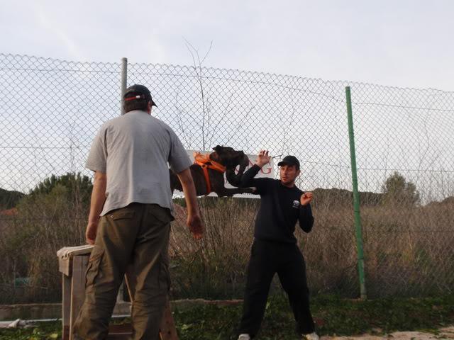 raissa,pit bull tigrada VARIAS153