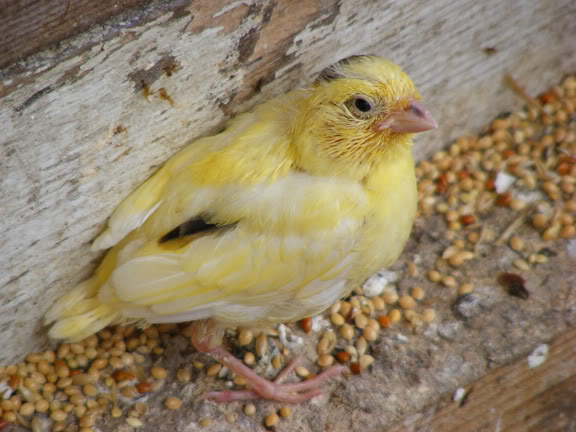 canary chick2