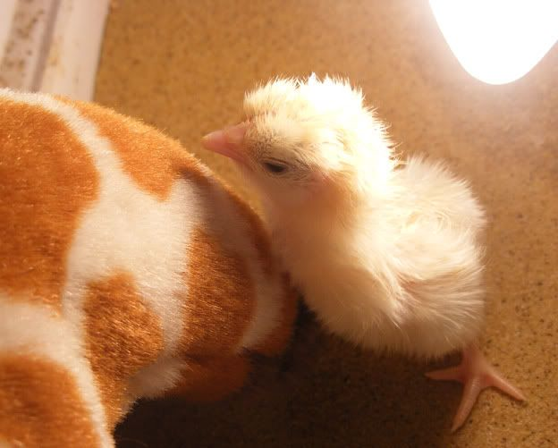 sarama chick