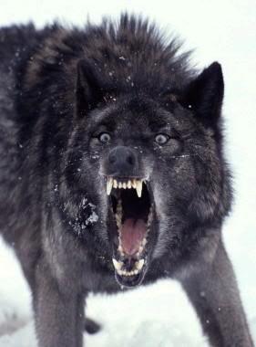 Alexander Black_wolf_