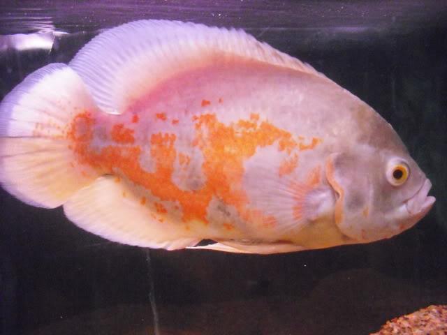 Pequeno oscar Albino DSCF1014