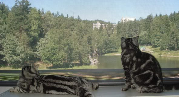 From Cattery Schibboleth British Shorthair 27juni2008039