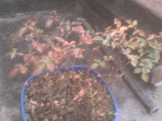 Rosal enano, hojas rojizas DSC00744