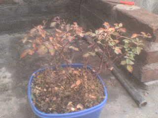 Rosal enano, hojas rojizas DSC00745