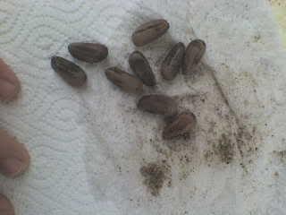 Semillas de pino DSC00794