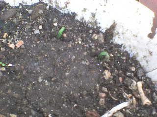 Semillas de pino DSC00832