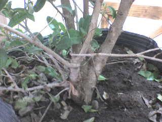 Eugenia (Eugenia uniflora) DSC01325