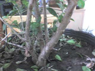 Eugenia (Eugenia uniflora) DSC01326