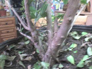 Eugenia (Eugenia uniflora) DSC01330