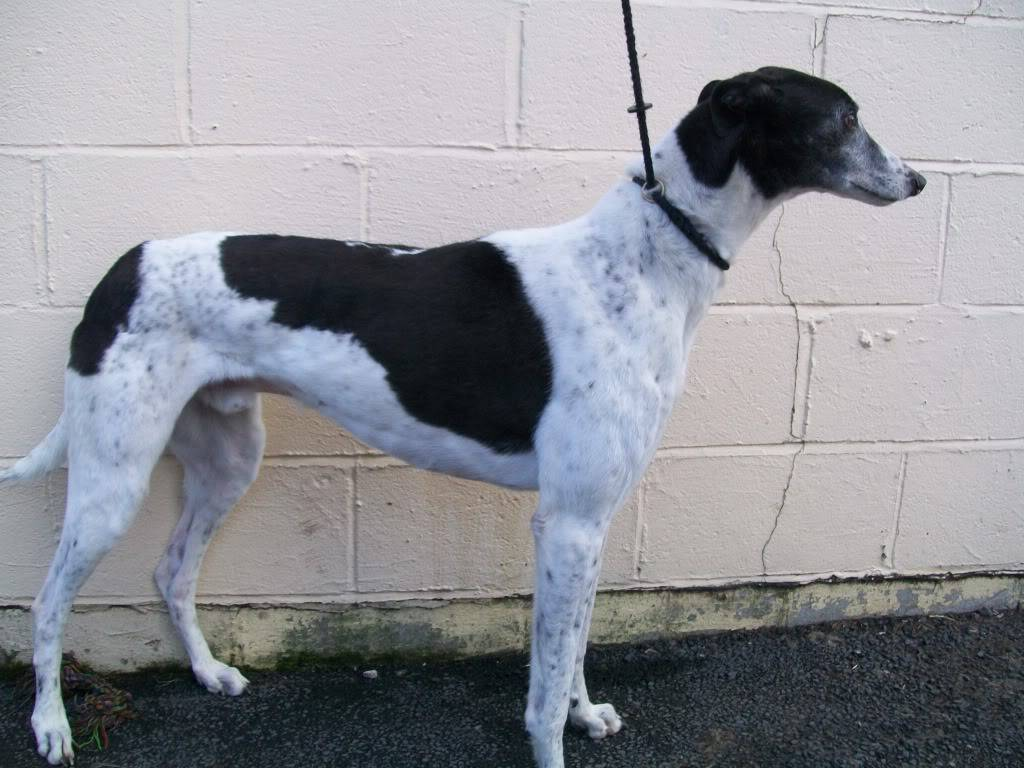 Joker - 6 Year Old Greyhound - Shropshire JOKER1