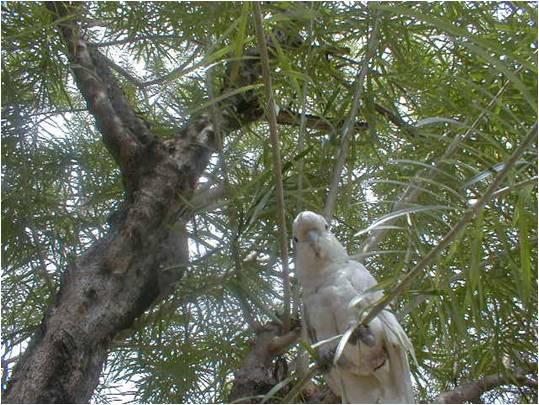 pugak the greatest parrot Pugak2