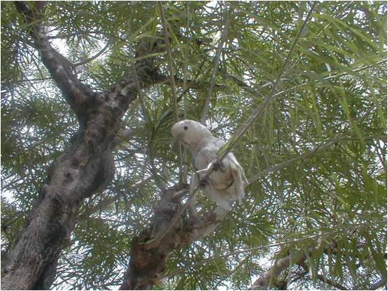 pugak the greatest parrot Pugak