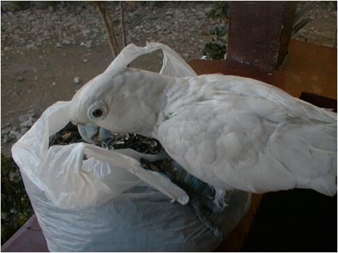 pugak the greatest parrot Pugak4