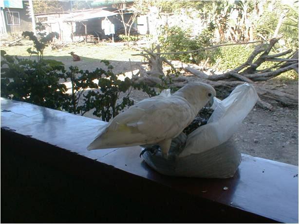 pugak the greatest parrot Pugaky