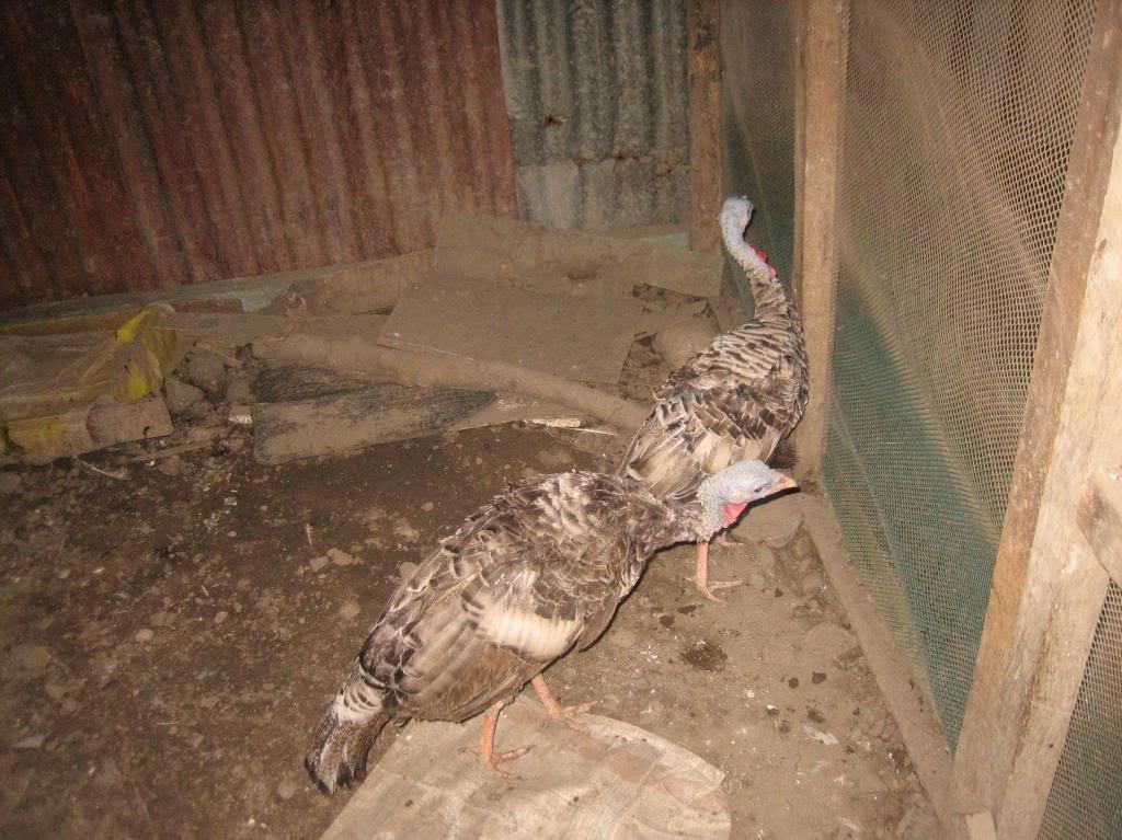 poultry pet Turkey1